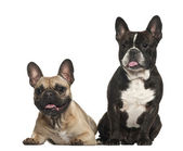 French bulldogs, 18 months old, sitting against white background — Stock Photo