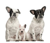 French bulldogs with puppy, 4 weeks old, sitting against white background — Stock Photo