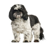 Shih Tzu, 2 years old, standing against white background — Stock Photo