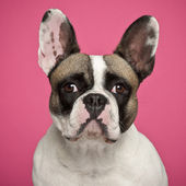 French Bulldog, 2 years old, against pink background — Stock Photo
