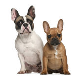 French bulldogs, 2 years old, sitting against white background — Stock Photo