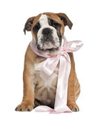English Bulldog puppy, 2 and a half months old, wearing bow and sitting against white background — Stock Photo