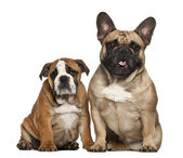 English Bulldog puppies, 2 and a half months old, sitting against white background — Stock Photo