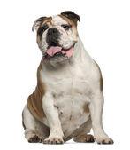 English Bulldog, 6 years old, sitting against white background — Stock Photo