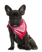 French Bulldog puppy, 6 months old, sitting wearing neckerchief against white background — Stock Photo
