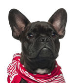 French Bulldog puppy, 6 months old, wearing neckerchief against white background — Stock Photo