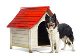 Border Collie tied to a kennel and portrait against white background — Stock Photo
