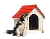 Border Collie tied and barking next to a kennel against white background — Stock Photo