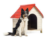 Border Collie tied next to a kennel and looking away against white background — Stock Photo