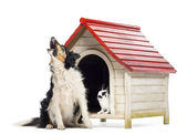 Border Collie sitting and barking next to a kennel with rabbit inside against white background — Stock Photo