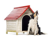 Border Collie sitting and barking next to a kennel against white background — Stock Photo
