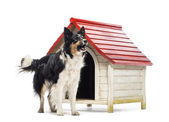 Border Collie barking next to a kennel against white background — Stock Photo