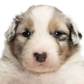 Close-up of an Australian Shepherd puppy, 22 days old, portrait against white background — Stock Photo