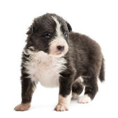 Australian Shepherd puppy, 22 days old, standing and looking away against white background — Stock Photo