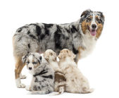 Mother Australian shepherd with three puppies, 6 weeks old, two are suckling and on is portrait against white background — Stock Photo