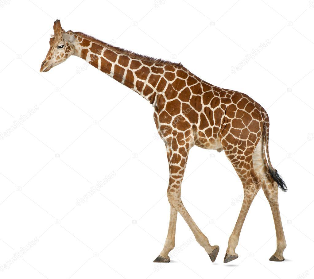 Картинка жираф для детей на белом фоне