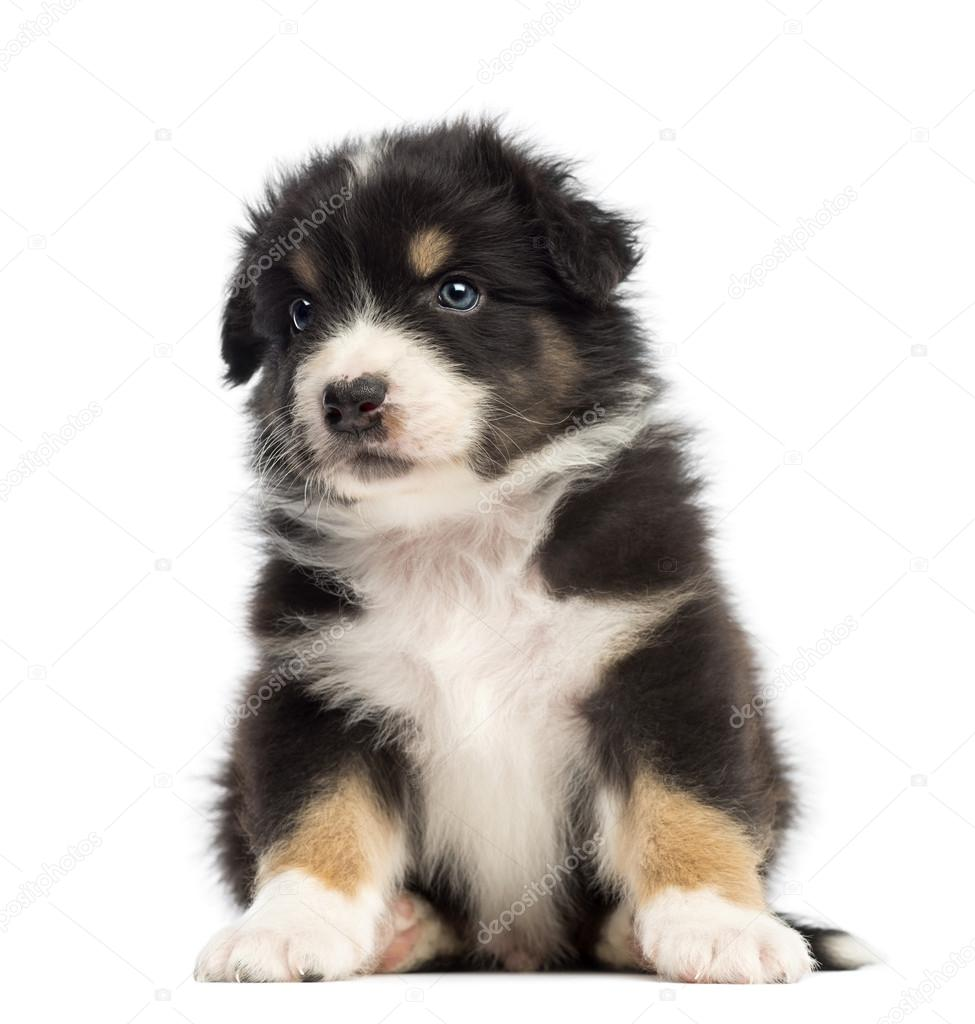 Australian Shepherd puppy, 1 months and 3 days old, sitting and ...