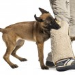 Belgian shepherd puppy biting protected leg against white background - Stock Photo