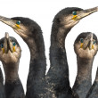 Six Great Cormorants head, Phalacrocorax carbo, also known as the Great Black Cormorant against white background - Foto de Stock