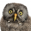 Great Grey Owl or Lapland Owl, Strix nebulosa, 2 months old against white background — Stock Photo