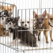 Chihuahuas in cage against white background — Stock Photo