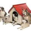 Group of dogs in and surrounding a kennel against white background — Stock Photo