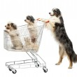 Australian Shepherd standing on hind legs and pushing a shopping cart with dogs against white background — Stock Photo