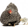 Chicks hiding themselves under mother Hen against white background - Stock Photo