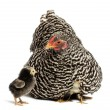 Stock Photo: Chicks hiding under mother Hen against white background