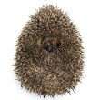 Stock Photo: Hedgehog curled up against white background