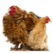 Crossbreed rooster, Pekin and Wyandotte, standing next to a Pekin bantam hen lying against white background - Stock Photo