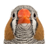 Portrait of Zebra Finch, Taeniopygia guttata, against white background — Stock Photo