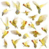 Composizione di roseo-faced lovebird volando, agapornis roseicollis, noto anche come il peach-faced lovebird su sfondo bianco — Foto Stock
