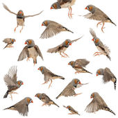 Composition of Zebra Finch flying, Taeniopygia guttata, against white background — Stock Photo