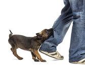 Beyaz arka plan bacak ısırma belçika çoban köpek — Stok fotoğraf