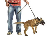 Man holding leash of aggressive Belgian Shepherd against white background — Stock Photo