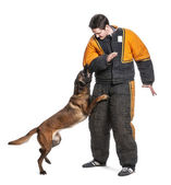 Belgian Shepherd attacking the arm of a trainer wearing a body bite suit against white background — Stock Photo