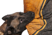 Belgian Shepherd biting a body bite suit against white background — Stock Photo