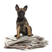 坐在一堆报纸白色背景上的比利时牧羊犬 — 图库照片