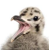 European Herring Gull chick calling, Larus argentatus, 1 month o — Stock Photo