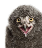 Snowy Owl chick calling, Bubo scandiacus, 31 days old against wh — Stock Photo