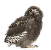 Snowy Owl chick, Bubo scandiacus, 31 days old against white background — Stock Photo