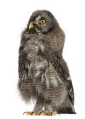 Great Grey Owl or Lapland Owl, Strix nebulosa, 3 months old against white background — Stock Photo