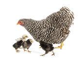 步行与白色背景及其小鸡的母鸡 — 图库照片
