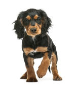 Working Cocker Spaniel, 10 weeks old, looking at camera against white background — Stock Photo