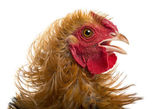 Close-up of Crossbreed rooster, Pekin and Wyandotte, against white background — Stock Photo