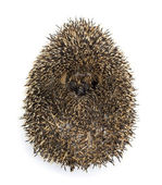 Hedgehog curled up against white background — Stock Photo