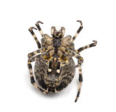 European garden spider, Araneus diadematus, lying on its back and curled up against white background — Stock Photo