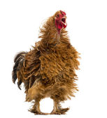 Crossbreed rooster crowing, Pekin and Wyandotte, against white background — Stock Photo