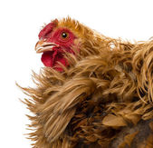 Crossbreed rooster, Pekin and Wyandotte, close up against white background — Stock Photo